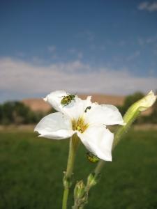 Diabrotica undecimpunctata on Petunia x hybrida