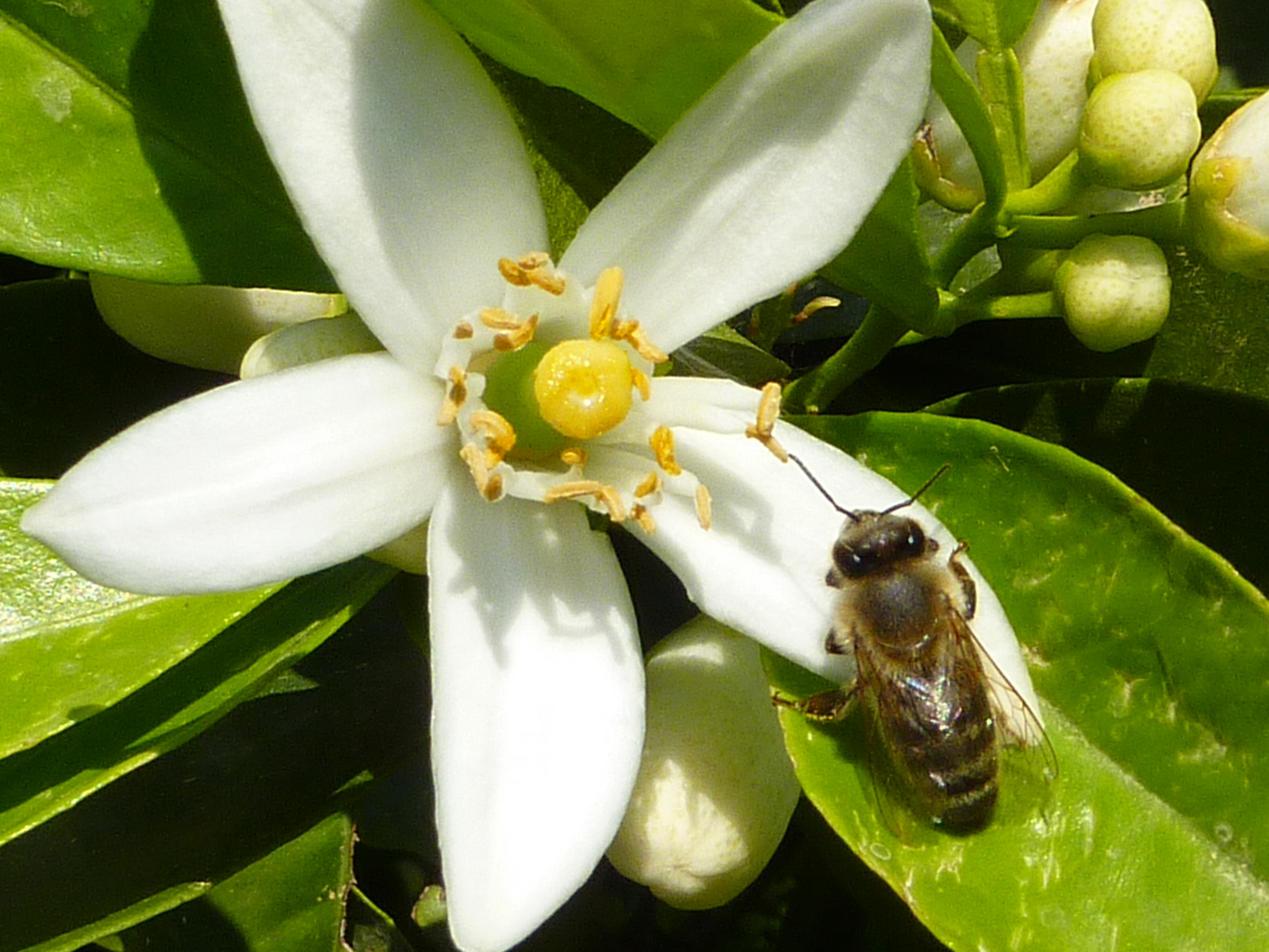 toxic nectar to improve pollinator fidelity flowering highlights. Black Bedroom Furniture Sets. Home Design Ideas