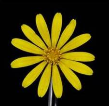 Fig 3. Daisies, such as this Gorteria diffusa, produce an apparently radially symmetrical capitulum (flower head) by combining central actinomorphic disk florets with an outer ring of highly zygomorphic ray florets