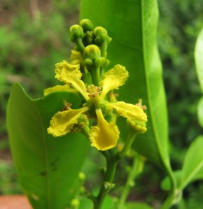 Fig. 4.Bunchosia sp. (Malpighiaceae): example of Neotropical polysymmetric flower. Note the equal paddle-shaped petals. Photo Kyle Dexter
