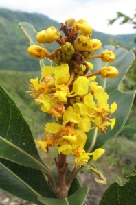 Fig. 5. Berysonima chrysophylla (Malpighiaceae): example of Neotropical monosymmetric flowers catering for oil-collecting bees. Note the paired glands on the outside of the calyx on the younger flowers at the top. Photo Toby Pennington