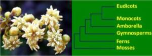 Figure 2. (Left) Amborella trichopoda, sister to all flowering plants. (Right) Simplified land plant phylogeny