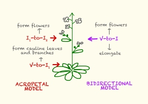 Figure 1. The two models that explain inflorescence architecture and flowering transition in Arabidopsis