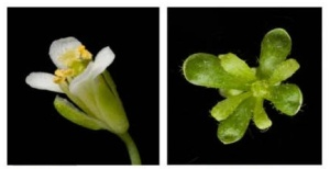 MacLean AM et al. (2014). Phytoplasma Effector SAP54 Hijacks Plant Reproduction by Degrading MADS-box Proteins and Promotes Insect Colonization in a RAD23-Dependent Manner. PLoS Biol 12(4): e1001835.