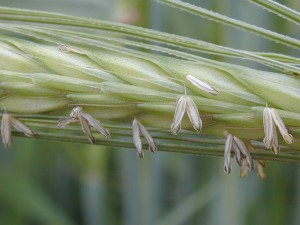 Barley flowering