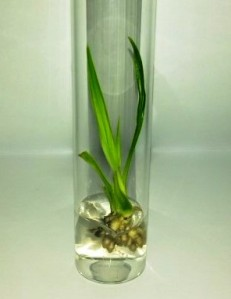 One-year-old oil palm plant generated by somatic embryogenesis grown in vitro. (Image courtesy of Marcelinus Rocky Hatorangan, Uppsala, Sweden)