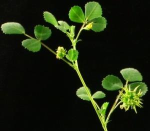 medicago detail_IMG_0002_1 crop