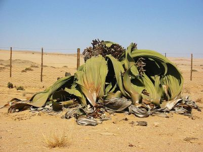800px-Welwitschia_mirabilis(2)