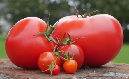 Figure_Tomatoes
